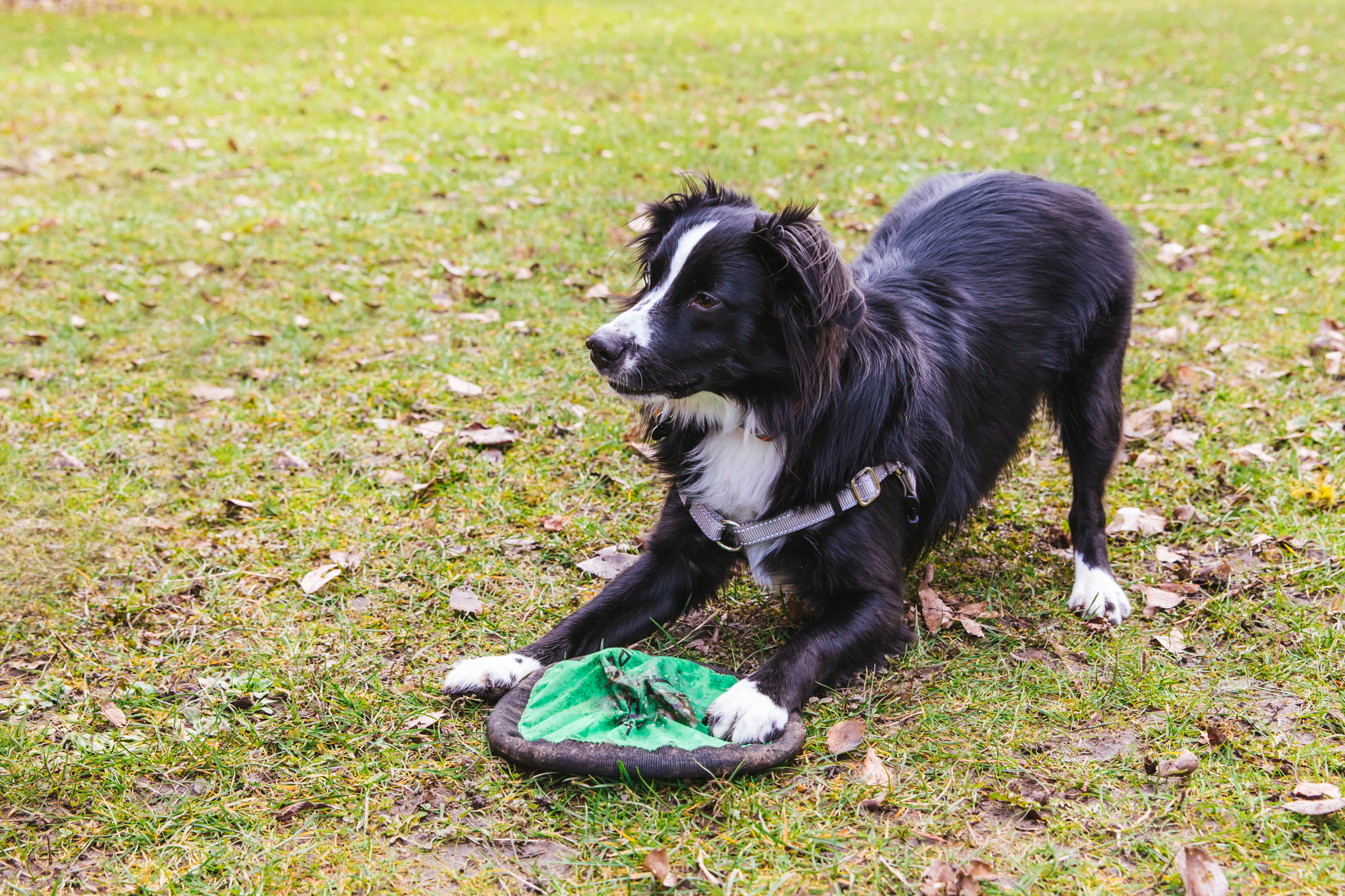 "Koopar is a little bundle of joy, almost two years old and and LOVES playing frisbee and learning new tricks, though he can get a tad frustrated when he can't get it right. He's also a big fan of{&nbsp;} swimming and hide a seek, but not so hot on loud noises. You can follow Koopar on Instagram at @<a  href=""https://www.instagram.com/miniaussiekoopar/"" target=""_blank"" title=""https://www.instagram.com/miniaussiekoopar/"">miniaussiekoopar</a>.{&nbsp;}<a  href=""http://seattlerefined.com/ruffined"" target=""_blank"" title=""http://seattlerefined.com/ruffined"">The RUFFined Spotlight{&nbsp;}</a>is a weekly profile of local pets living and loving life in the PNW. If you or someone you know has a pet you'd like featured, email us at{&nbsp;}<a  href=""mailto:hello@seattlerefined.com"" target=""_blank"" title=""mailto:hello@seattlerefined.com"">hello@seattlerefined.com</a>, and your furbaby could be the next spotlighted! (Image: Sunita Martini / Seattle Refined)"
