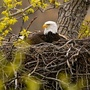WATCH | Bald eagle eggs left unattended due to snowstorm