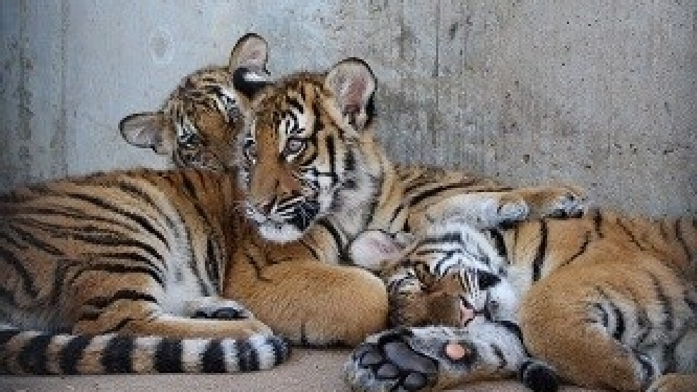 Tulsa Zoo Hosts Birthday Party for Tiger Cubs KTUL