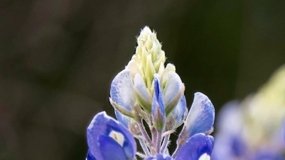 An enlightening bluebonnet goodbye