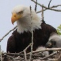 DNR seeking tips in death of bald eagle in western Michigan