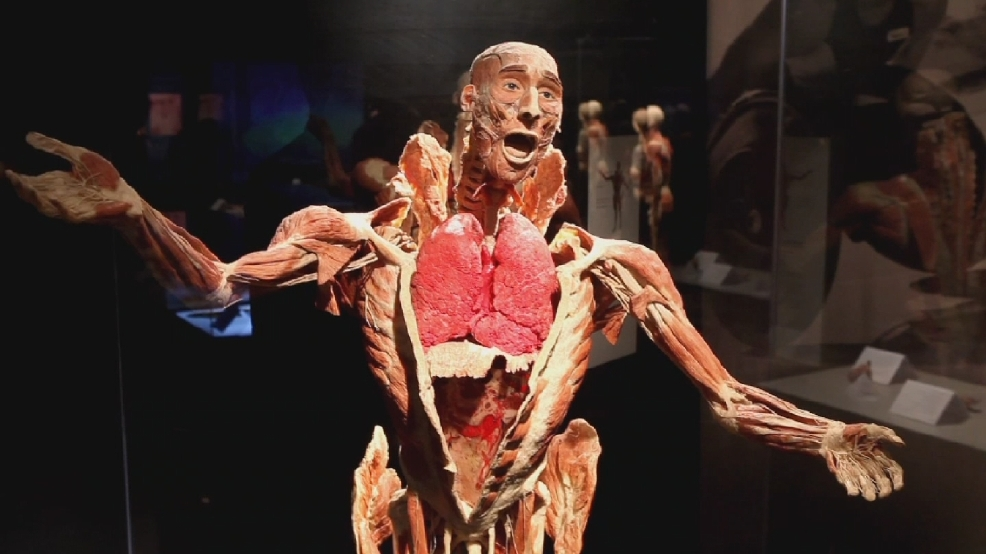 body worlds' exhibit offers unique glance inside human body | wjar, Muscles