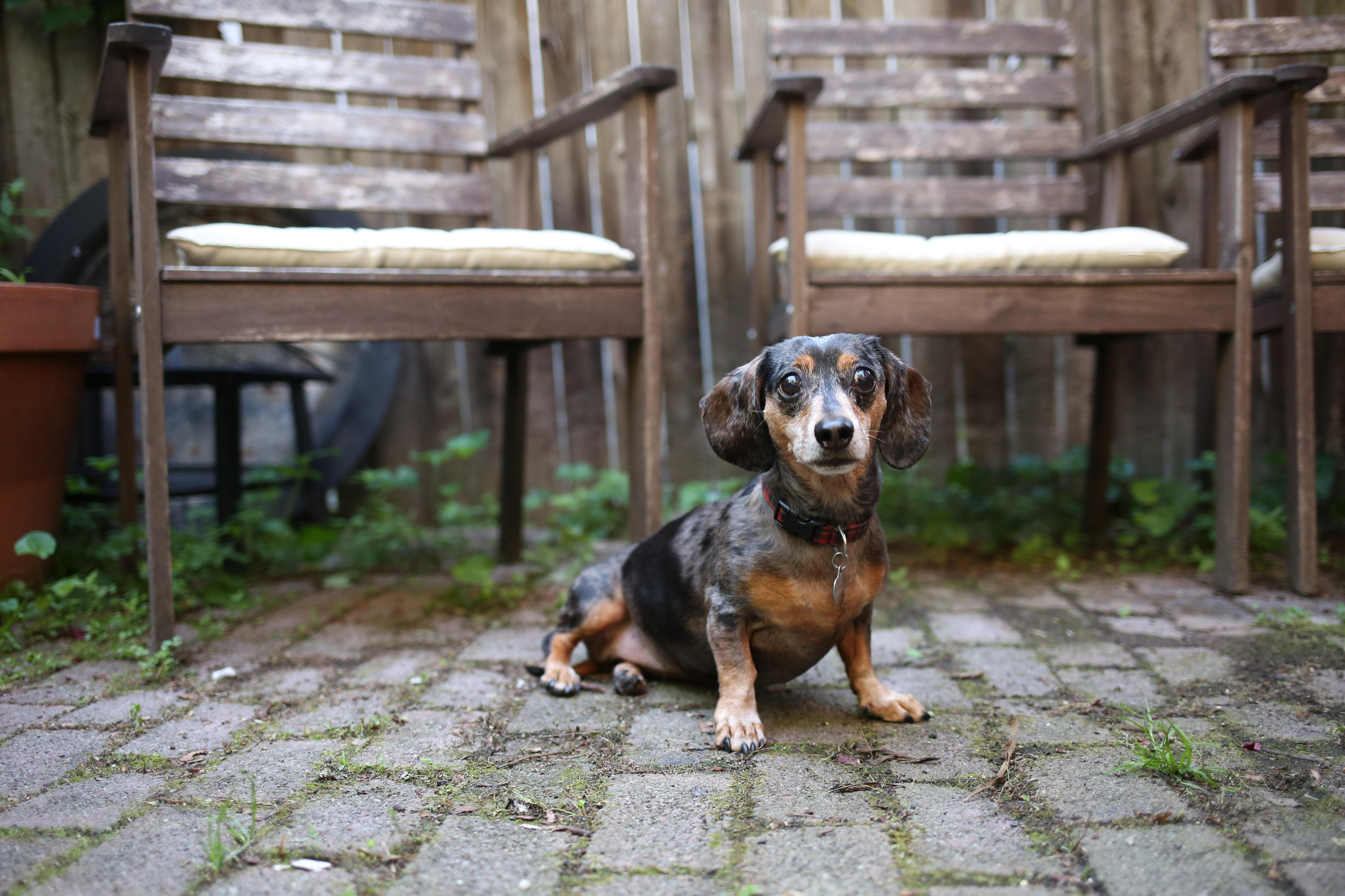 Meet Phoebe, an 11-year-old Dachshund, who is proof that you can age gracefully! Even at 11, she is still an avid hiker and often goes on 10-mile backpacking trips with her dog dad, Steve. Phoebe has done a lot of traveling with her mom, who found her when she was just a three-pound puppy in Laramie, Wyoming and has since lived in Vancouver, Seattle and now D.C. She also has a major love of tennis balls, snuggling under the blankets and chasing squirrels in Lincoln Park. But don't try and wake her up before she's ready or you'll get an earful. Oh, and don't even think about taking Phoebe on athletically because she took home the first place trophy in the 2015 DachtoberFest Dachshund Dash in the senior schnitzel division -- say that five times fast! If you or someone you know has a pet you'd like featured, email us at dcrefined@gmail.com or tag #DCRUFFined and your furbaby could be the next spotlighted! (Image: Amanda Andrade-Rhoades/ DC Refined)