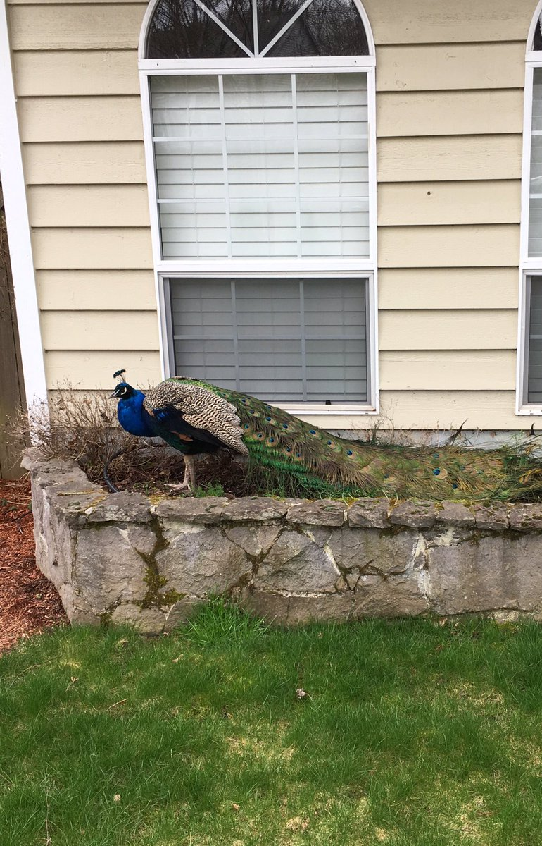 Peacock spotted on SW 166th Terrace - Photo from Beaverton Police