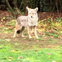 Coyote concerns reported in several Seattle neighborhoods