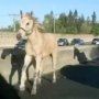 Four-legged fugitives take free rein on a California highway