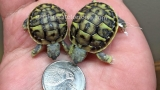 Rare tortoise twins born in New Jersey