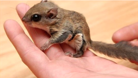 Flying squirrel trafficking operation grounded. (FWC)