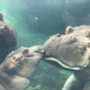 Like father like daughter: Zoo's hippo Henry shows familiar fighting spirit