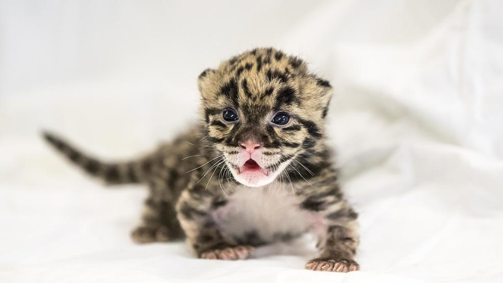 clouded leopard cub born at nashville zoo wztv