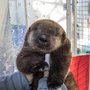 Oregon Zoo welcomes new orphaned sea otter pup