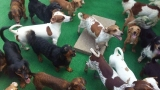 Rescue organizations take in 47 dachshunds