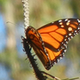 Iconic western monarch butterfly nearing extinction