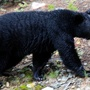 Bear sightings on Missouri roads, rivers, even trailer parks