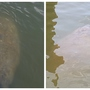 Manatee spotted at Oregon Inlet in Nags Head