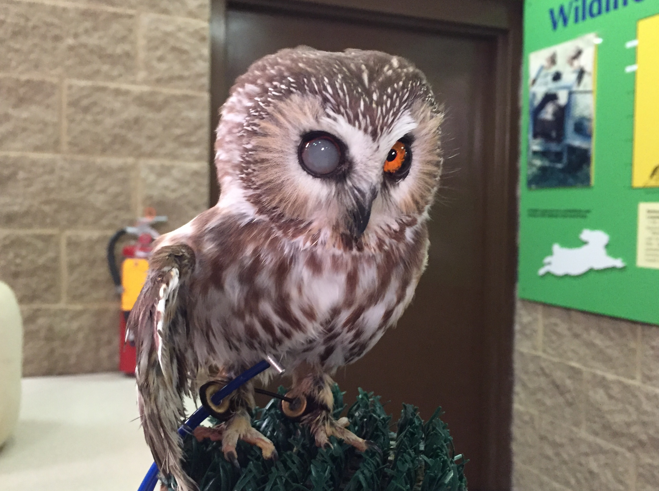 Thumbelina the saw-whet owl is seen at the Bay Beach Wildlife Sanctuary Jan. 9, 2018. (WLUK photo)<p></p>