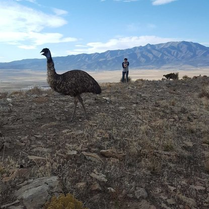 Escaped emus stranded on mountain in Utah | WBUI