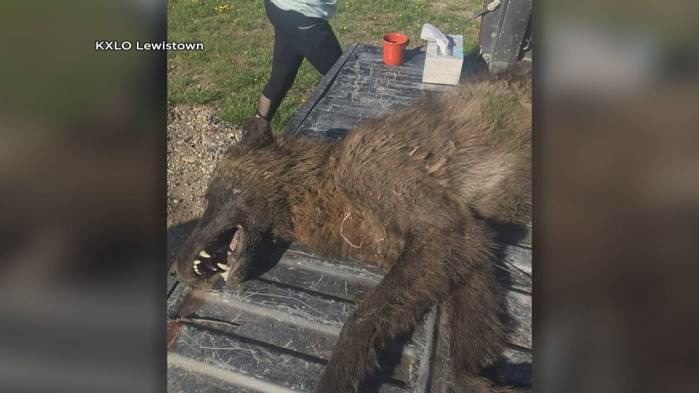 Fwp Testing Possible Wolf Killed Near Denton Keci