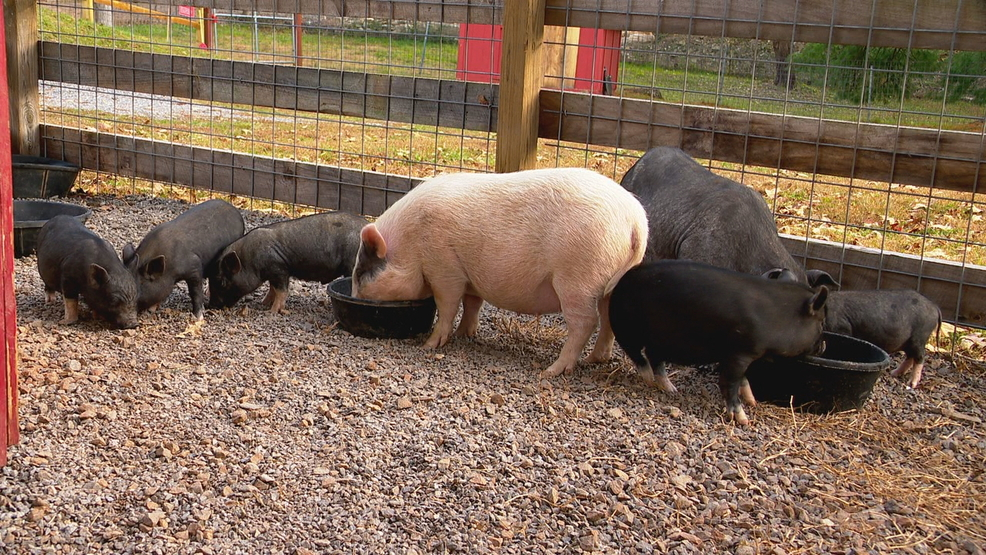 Asheville animal rescue group needs help nursing starving farm animals back to health