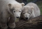 Polar bear cubs Columbus Zoo.jpg