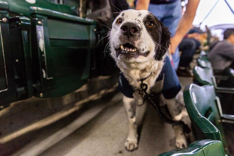 It's not a real Mariners season until the first annual Bark at the Park! This amazing night (which happens several times a season) is where fans are allowed to bring their dogs to the game, into a special canine section, to enjoy with their owners. As you can tell by the gallery, some like it more than others...the next Bark at the Park - for those interested - is July 5, 2018 versus the Angels. (Image: Sunita Martini / Seattle Refined){ }