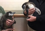 Growing penguin chicks are held at the NEW Zoo in Suamico Feb. 21, 2018.