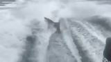 Video of shark being dragged by boat prompts FWC investigation