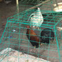 2 men arrested, 300 roosters seized in illegal cockfighting operation in Port Orchard