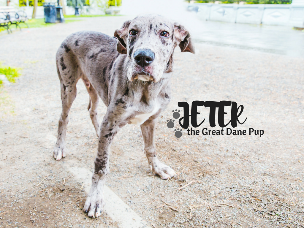 Okay, it's insane to think that this Jeter is only a puppy. HE'S A HUGE! But, what else would you suspect from a Great Dane?! Anyways. Jeter is a Great Dane and is only 4 months old. He likes meeting new people & dogs , bath time, and playing with his sibling cat, Koa. He dislikes vacuums, brooms and bright lights. (Image: Sunita Martini / Seattle Refined)