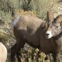 Record bighorn ram lived in Montana state park