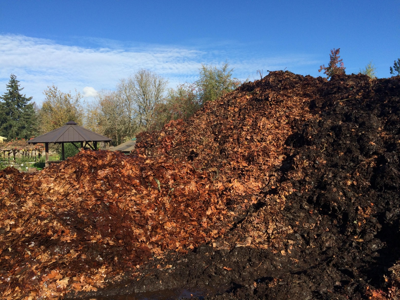 Leaves left on the curb in Lane County don't go to waste. Many are put to use as compost for the Food for Lane County Grassroots Garden. (SBG photo)