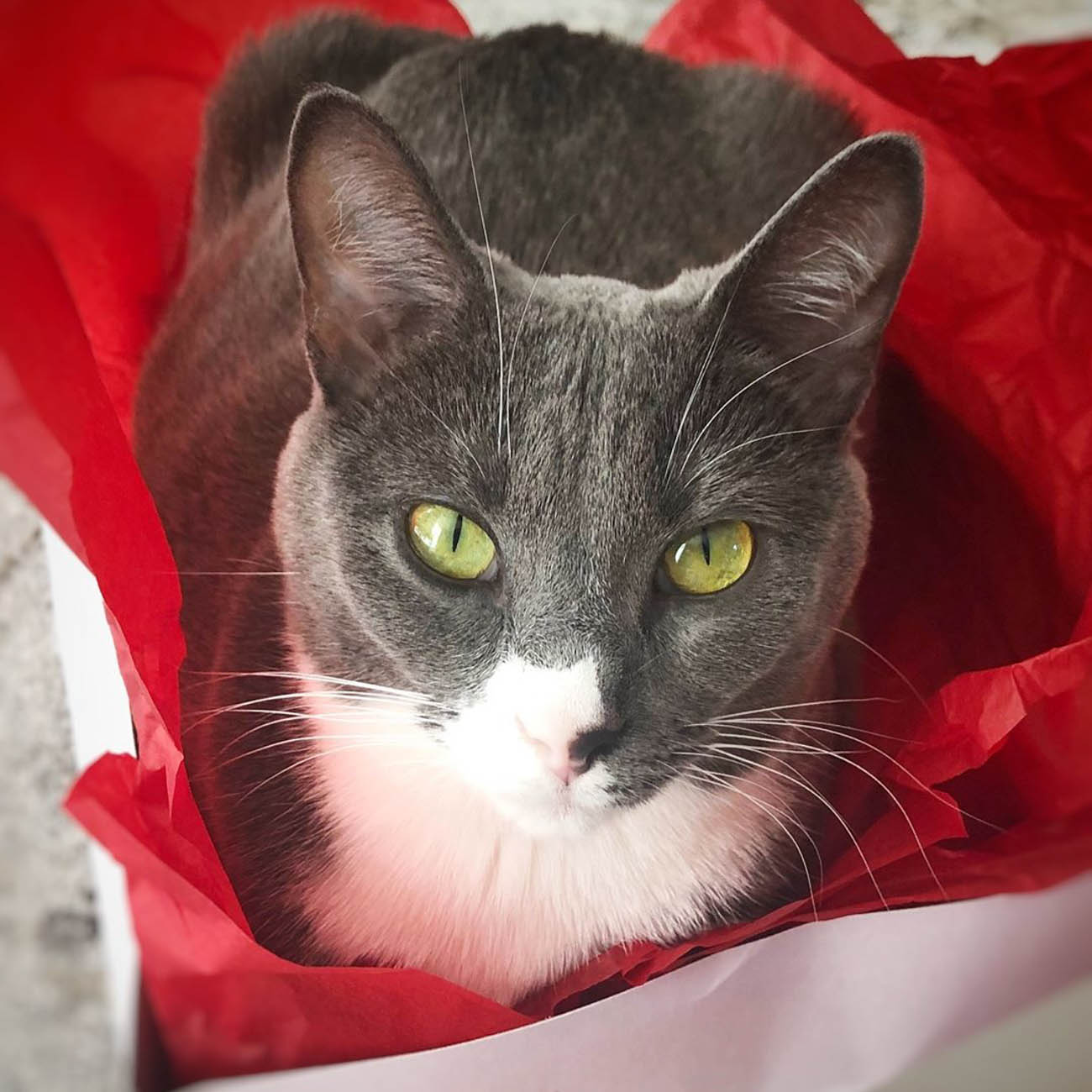 <p>Pips (short for Pippi) likes to hangout in Christmas boxes during the holidays because, surprise, SHE'S the gift. / Image courtesy of Instagram user @sister_whiskers_cincy // Published: 1.13.19</p>