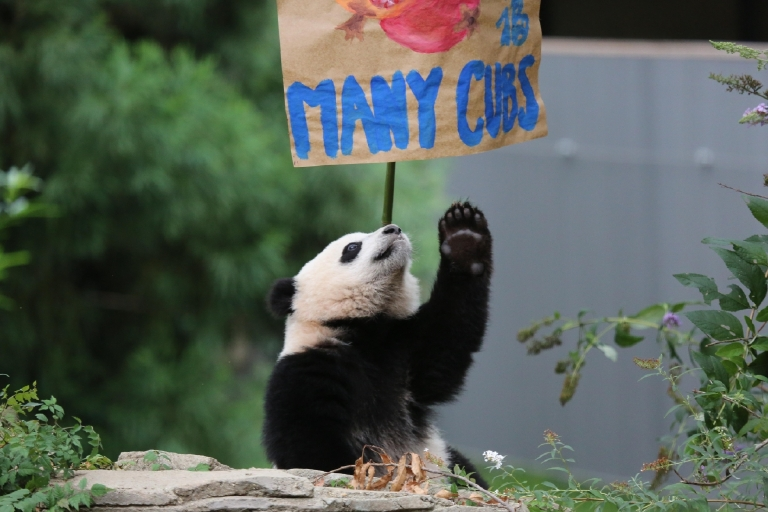 Bao Bao's first birthday - August 23, 2014. (Image courtesy of Smithsonian's National Zoo)