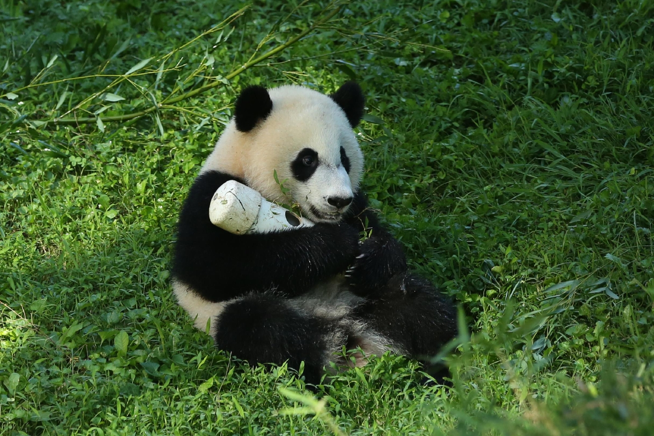 If there's anything that will unite all of D.C. it's our love for these fuzzy, tumbling, bamboo-loving little cuties! To celebrate the greatest national day we have heard of yet -- and yes, that's totally an objective opinion -- we rounded up a few of our favorite photos we've amassed of D.C.'s First (Panda) Family: Tian Tian, Mei Xiang, Bao Bao (WE MISS YOU!) and little Bei Bei! We hear there could be another panda cub in the future (Mei Xiang was artificially inseminated earlier this month), so stay tuned and enjoy! (Image: Amanda Andrade-Rhoades/ DC Refined)
