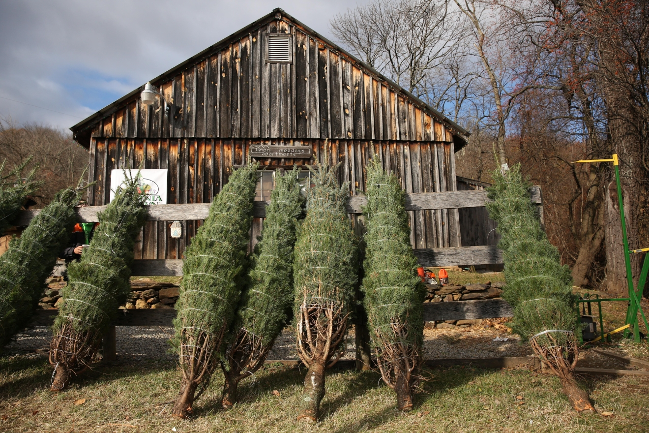 When you bring the tree back to the barn, they shake every tree clean and bale each one tight on special machines for cleanliness and ease of transportation. (Amanda Andrade-Rhoades/DC Refined)