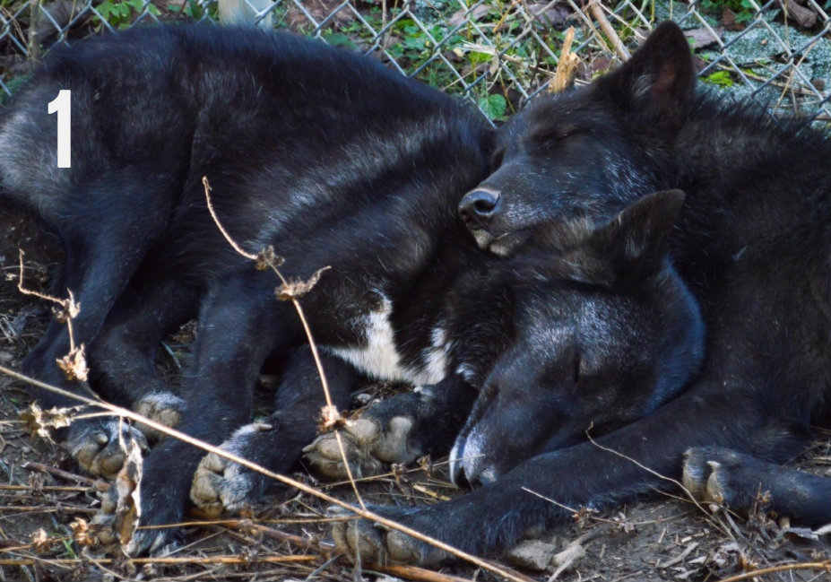 #1 - Cause wolves cuddling with each other is just what the world needs right now. You can hang with these adorable wolves at Wolf Creek Sanctuary in Brookville, Indiana. / Image: Liliana Dillingham
