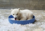 Polar bear cubs 2.jpg