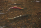 SALMON RECOVERY 500-OTS+VO_KATU3682_146_frame_339.png