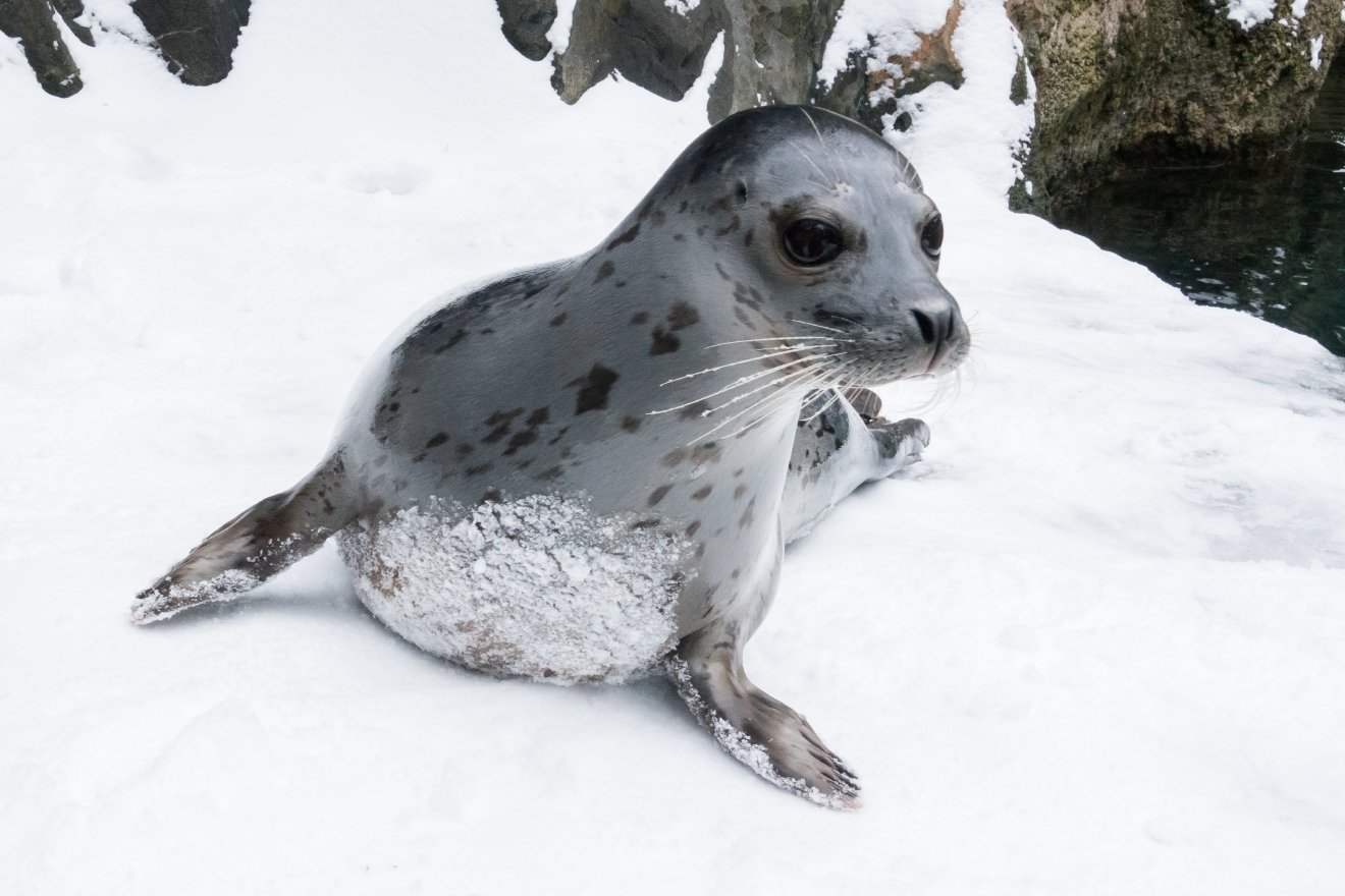 Harbor seal Kaya after a snow storm. © Oregon Zoo / photo by Michael Durham.