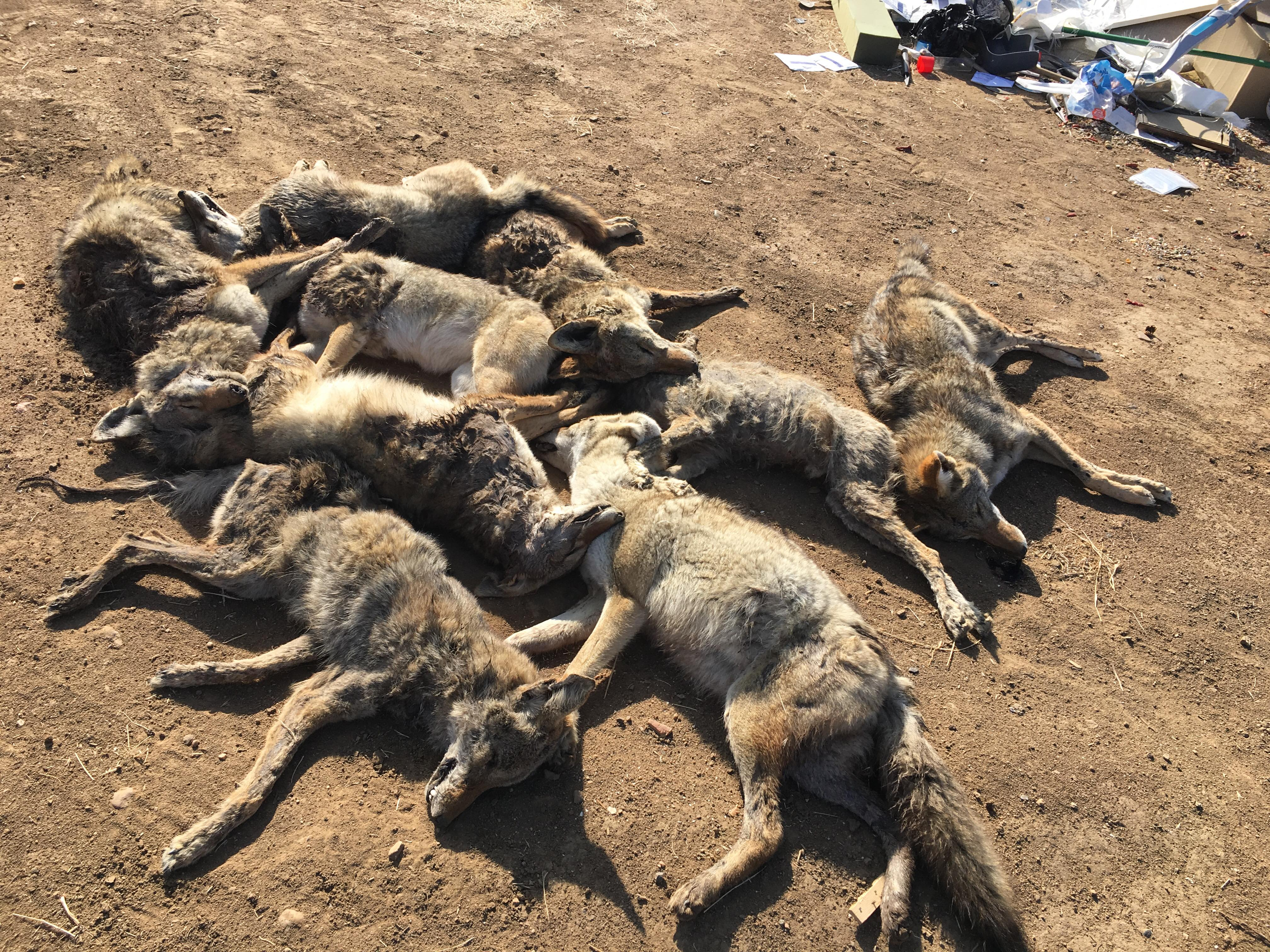 Dead coyotes found in the area of Panorama Drive and Morning Drive in Bakersfield, Calif., are seen in a photo provided Dec. 13, 2017, by Matt Douglas.