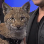 Lynx tags along with Jarod Miller & Wildlife Rockstars