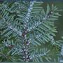 DEC: First infestation of Hemlock Wooly Adelgid confirmed in Adirondacks