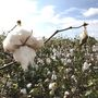 Good cotton harvest still expected despite impactful tropical systems