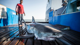 8-foot, 460-pound shark spotted in Ocean City