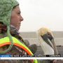 Winter winds forces pelicans to land on hazardous Port Isabel highway
