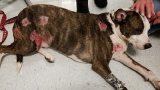 Dog suffers extensive damage to his jaw and body after attack by 3 other dogs