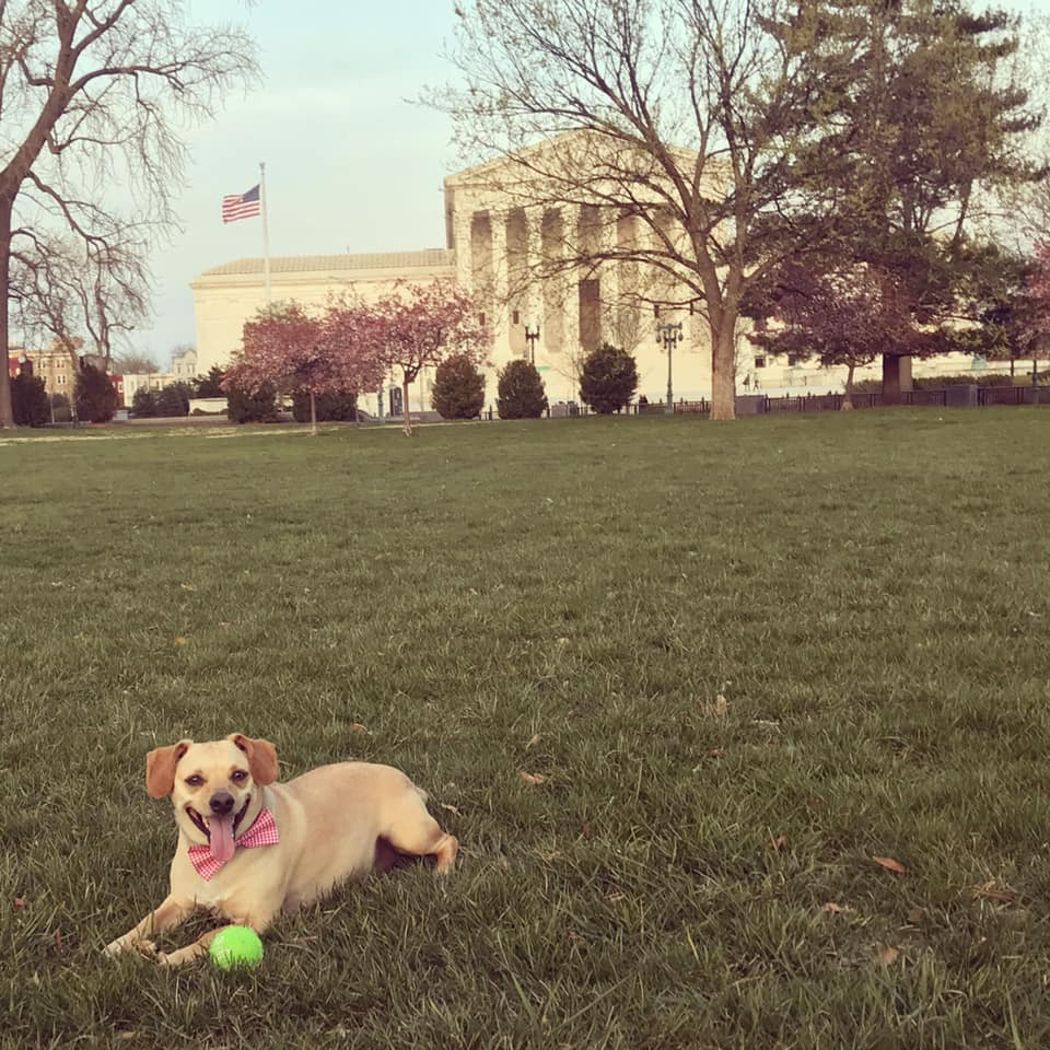"""I love playing fetch on the lawn of the Capitol with Fenway! He always knows when we are going here and it's his favorite spot. Here he's taking a break."" (Image: Courtesy Fenway Bolan)"