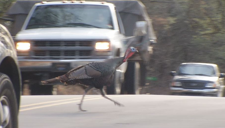 A turkey has been stopping traffic along Glenn Bridge Road in Arden for a couple of months now. (Photo credit: WLOS staff)