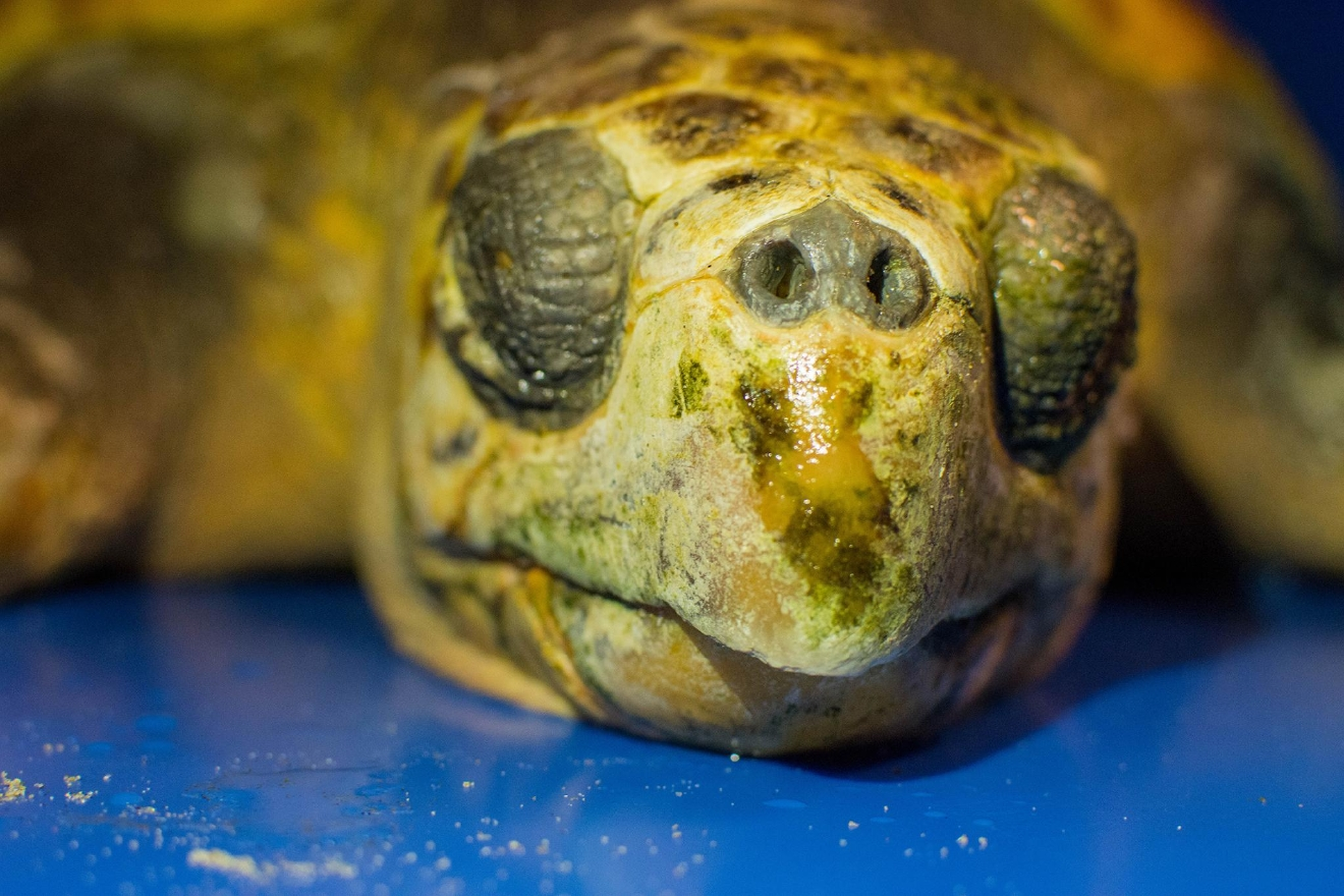 Jim Burke with the Oregon Coast Aquarium said sea turtles are are on the Oregon Coast - and the loggerhead species is even rarer still. (Oregon Coast Aquarium photo)