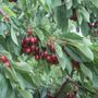 Richland U-Pick farm open for cherry picking